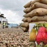 Ziguinchor : la filière anacarde a généré 22 milliards de Fcfa en 2020